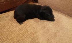 Hi i have a male blk+brindle miniature pinscher he is will be ready to leave at eight weeks old his tail and dew claws are clipped and his worming is up to date,the shot is given at eight weeks. The puppy will have a health guarantee all my dogs live with