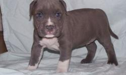 Blue American Pitbull (Bully) Male Pup-Ukc, Abkc, Adba Registered...born February 21, 2015....will be ready to go April 18, 2015....this pup comes with proof of shots, first de-worming and a vet check...serious inquiries only...feel free to call or text