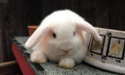 beautiful baby Holland Lop bunnies, purebred, fully pedigreed, from small parents, pure white with nice blue eyes!