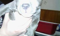 China is a 8 week old blue female pit bull.china has had 1 round of shots and been dewormed....$500.00 call 585-500-3547