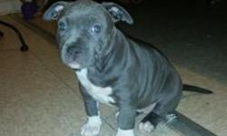 1 Female pitbull bully pup for sale 1 Male Tri-color pitbull bully pup for male Beautiful pups who are seeking a wonderful and safe home ! First come, first serve policy.. I have more pictures of the pups and their parents. 3479825617