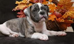 WE have 2 Olde English bulldogges pups available . All pups have had their tails and dew claws removed,vet check ,shots.They were born on 08/25/2014. Are both parents registered with the International Olde English Bulldogge Association(IOEBA), We focus on