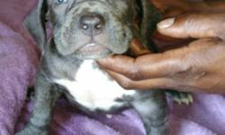 Beautiful bluenose bullies 800$