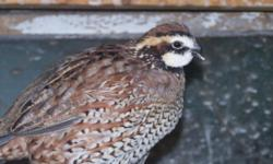 Bobwhite Quail and Chukars for sale young adults 5.00 each call 845-750-6542