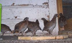 Bobwhite Quail for sale 8,00 each call 845-750-6542 ask for Matthew.