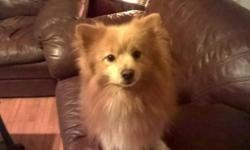 i have a young male and female pure Pomeranian bonded pair for adoption. house trained, kennel trained, UTD on vaccines, would prefer they go together to a quite house hold with older kids or no kids. must sign a spay/neuter contract. please email for