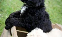 These puppies are a beautiful mix of border collie and poodle. Highly intelligent, sweet natured, good with elderly and children. Low to non shedding and hypoallergenic, these puppies are a delight. Hand raised on a small hobby farm as family pets. Call