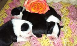 Beautiful Boston Terrier Puppies born on 3/5/15. Black and white 2 males left (one traditional black and one and one white face splash). Have been vet checked and are healthy. All pups come with six week shots, dewormed, and dew claws removed. Pure but no