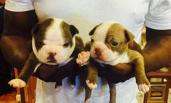 I have two female Boston terrier puppies available they are about three weeks old and will be ready to leave in about 5 more weeks they are both tan but one is lighter than the other. Do not hesitate they will go fast