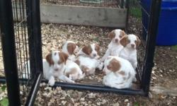I have male and female Brittany puppies. They are orange and white. I have both parents on site. They are great family dogs and good hunters. The parents have champion blood lines. They are AKC reg. they have been vet checked had their tails docked and