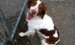 Brittany Spaniel - Molly - Medium - Young - Female - Dog A laid back sweet heart. Good with kids and a great famly dog CHARACTERISTICS: Breed: Brittany Spaniel Size: Medium Petfinder ID: 24843382 ADDITIONAL INFO: Pet has been spayed/neutered CONTACT: