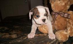 Beautiful bulldog/pugle mix. Ready to go. Shots and wormed. TELEPHONE INQUIRES ONLY, 1-607-243-5465. They were born 10/15/2012. Thanks
