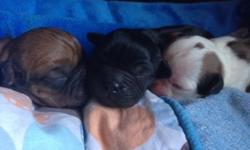 Father is AKC English Bulldog Mother is Cocker-Cavlier Spaniel All females!! Pics of puppies and past puppies grown up. Will be 20-30 lbs Resemble miniature boxers Will be vet checked, shots and health guarantee. 100 to hold 400 on pick up