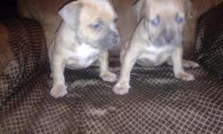American Bully Puppies Only females , Blue nose Razors Edge & Gottiline , Contact Me for all info 347-524-8165. This ad was posted with the eBay Classifieds mobile app.
