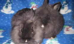 we have several bunnies ready for homes. Lionheads, Holland lops, netherland dwarfs $20 each Arcade NY