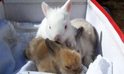 Cute Baby Lionhead Bunnies white and brown still avail... call now and reserve yours... ready for pick-up on 06/25/14 only 10.00 each... great with kids!! call 845-750-6542.