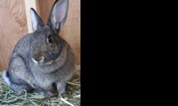 Bunny Rabbit - Ash - Medium - Young - Male - Rabbit Ash is a lovely rabbit who can be a tad shy. Likes the human interaction and would do well as an only bunny. He is potty trained.(picture coming soon) If you're interested in adopting Ash, please visit