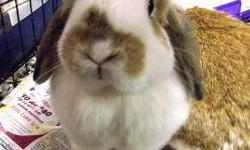 Bunny Rabbit - Frank And Cooper - Medium - Young - Male - Rabbit Frank and Cooper came in due to their previous owner turning their parents loose in the yard! As a result, Cracker Box now has 17 new rabbits! They will both be available as soon as they are
