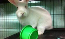 Bunny Rabbit - Snapples - Medium - Young - Male - Rabbit A volunteer writes: Snapples is a mini-Rex boy whose owner didn't have the time for him anymore. Luckily, most of his life is still in front of him, so he'll get a chance to spend it with caring,