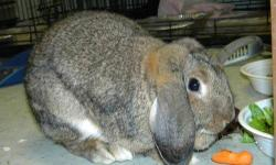Californian - Jack - Medium - Young - Male - Rabbit Jack is a marvelous large Californian bunny who was found in Flushing Meadow Park. The first things you notice about Jack are his oversize pink and brown ears and the unusual mottled-brown patters on his