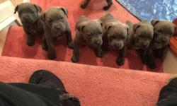 Cane Corso puppies for sale. Litter is ICCF registers. Tails docked, ears cut, dewormed, up to date shots. Parent are ICCF registered with championship bloodlines.