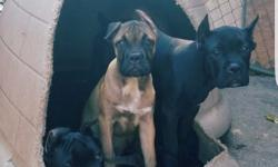 I have 3 Cane Corso puppies available looking for loving new homes 1 male 2 females. Pups are AKC registered and come with all up to date vaccine shots with vet papers to prove. Pups have also been dewormed biweekly from birth and comes with Tails docked,