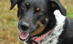 Cattle Dog - Callie - Medium - Young - Female - Dog Callie is a beautiful sweet girl. She is estimated to be about 2 years old. She is believed to be a dalmatian/cattle dog mix and weighs in at about 45 pounds. Callie needs needs to be the only 4 paw