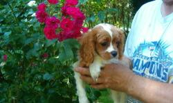 One very handsome male Blenheim. Healthy, playful, affectionate and house trained. . Born 3/25 and ready now or can hold with deposit. . Cavaliers are an outstanding companion breed, happy and social, easy to train and maintain. We are not a kennel. All