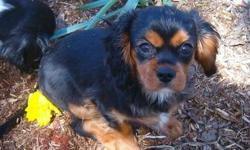 2 adorable Cavalier pups, ready now, born Jan 1, 2013. Very affectionate, social, playful but calm, and beautiful. One TRICOLOR female and one BLACK AND TAN male available. Cavaliers make ideal companions and are happy, social dogs who want to be part of