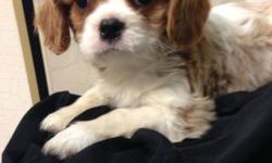 AKC Cavalier King Charles Spaniel Puppies! Male and Female available. Black and Tan. And Blenheim Will be ready March 10th Up to date on shots and Dewormings && Vet checked