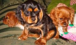 Beautiful, sweet and affectionate Cavalier pups. One ruby female and two males -- one ruby (very small) and one black and tan. Three months old, paper-trained, and ready to go now or will hold with deposit. Pups are vet checked, vaccinated, wormed, sold