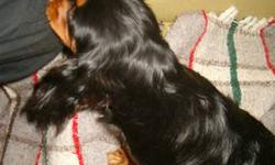 1 Black-and-Tan male Cavalier pup, ready now, born Jan 1, 2013. Very affectionate, social, playful but calm, and beautiful. Thick, wavy, glossy coat and beautiful markings. Cavaliers make ideal companions and are happy, social dogs who want to be part of