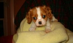 New Year Babies -- Cavalier King Charles Spaniels, whelped 1/1/13. Will be ready for their new homes end of February but available for visits now. Can hold with deposit. Beautiful puppies! Fantastic breed. Parents and grandparents on premises. Pups sold
