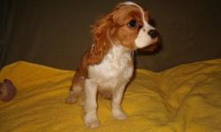 Two Blenheim boys, well marked, small, of AKC champion lines. Born in December, ready to go or can hold with deposit. Paper trained, socialized, playful and friendly, parents on premises. Vaccinated and wormed and sold with health guarantee. This is a