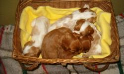 Adorable babies, seen here in pictures at 3 weeks, ready May 24, taking deposits now. Blenheims or Ruby, males or females available. Males $1200; Females $1250.. Cavaliers are an outstanding breed, happy and social, and make wonderful companions. We are