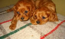 Only two little boys left. Adorable, healthy, playful and affectionate. Born 3/25 and ready now or can hold with deposit. . Cavaliers are an outstanding companion breed, happy and social, easy to train and maintain. We are not a kennel. All dogs lovingly