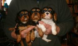 3 adorable Cavalier babies, 8 weeks old, ready now for their forever homes or will hold with deposit. One TRICOLOR female and two BLACK AND TAN males. Beautiful faces, very, very sweet, family-raised and well-socialized. Cavaliers make ideal companions