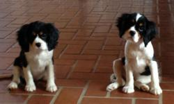 Cavalier King Charles Spaniel Puppies Ready to go now UP to date on shots and dewormings Vet checked. Parents on Premises