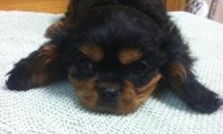 Cavalier puppies Ready to go now. Males and Females Luvlyacrescavaliers.com