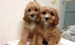 Cavapoo Puppies! Ruby Color & White with Brown markings Vet Checked Up to date on shots and dewormings Ready to go!