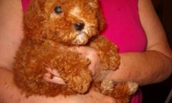 Adorable cavapoo puppies, one male and three females, born May 12 and ready now, wormed, with first shots. We are not a kennel. All pups lovingly raised in our home and are well socialized, with plenty of affection and attention. Parents on premises. We