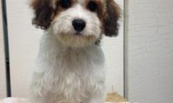 Cavapoo Puppies Available Ruby male & White Male Ready to go ! up to date on shots and deworming. Offered by Breeder