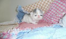 Beautiful Healthy CFA Pure Persian Kittens, ready end of April, will have first shot, dewormed, health record, goody bag.... www.persianmenagerie.com