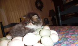 CFA Pure Persian kittens, no CPC in the line, healthy, dewormed, first shot health record, goody bag, www.persianmenagerie.com