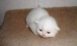 Four White (male and female) kittens at $800 each and one Red Persian kitten for $700. Our kittens are NEVER caged, so their personalities are friendly and not afraid of people. These kittens are raised between kids and other cats, so they are very