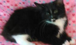 Female Maine Coon Kitten DOB 5/6/16 White with Black, CFA Registered, shots. $100 Deposit will hold. She is so Cute! Started training her to walk on a lead today. Call 315-729-9200 for more info