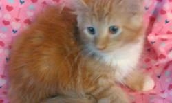Champion Sired Male Maine Coon Kitten DOB 5/6/16 Red and White, CFA Registered, shots. We went to an antiques show last week and started training on leash walking, what a great kitty! Call 315-729-9200 for more info