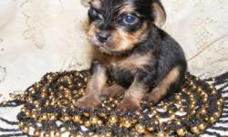 Chinese Crested/Chihuahua mix baby. Will look like a purebred VERY SMALL black and tan Chihuahua. NOT hairless- short coat- possibly powder puff type coat. Will be seen by a vet for shots and wormings. Health Guarantee. Go home with security blanket,