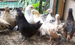 Chickens for sale Malaysian Serama's (smallest chickens in the world) and Mixed bantys Cochins, young birds 1-5 months old 12.00 each or 20.00 a pair, ( rooster and hen) many to choose from call 845-750-6542 ask for Matt.
