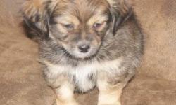 I have one Chihuahua and Lhasa Apso mix puppy left. It is a little boy who loves to play There is a picture of Dad (AKC Chihuahua) he weighs 3 1/2 pounds and Mom (AKC Lhasa Apso) she weighs 8 pounds. He will be small. Could possibly be non shedding or at